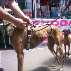 Greyhound Harness